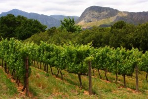 hermanus vineyards bouchard