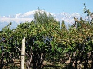 Argentina Vineyard Malbec
