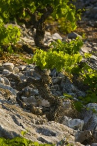 Primosten Vineyards in Croatia