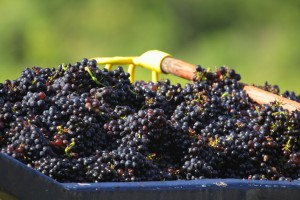 gamay grapes beaujolais