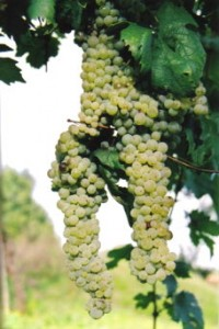 White Grapes Coda di Volpe