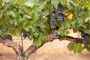 lodi grape vine