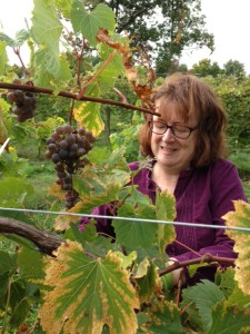 Joe's wife, Isabelle, harvesting Frontenac Gris last fall.