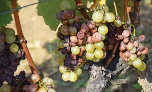 Aszu ('dried up' or 'dried out') grapes