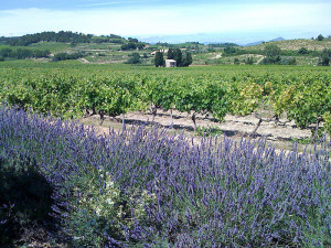 Vineyards in Cairanne - photo by Samuel Lavoie via Wikimedia Commons
