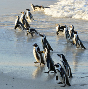 African Penguins on Boulders Beach, near Cape Town in South Africa