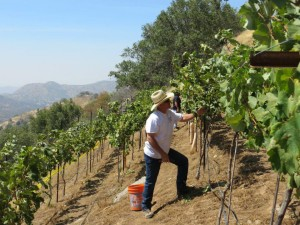The 2015 harvest at Sierra Peaks Winery - via http://www.sierrapeakswinery.com/