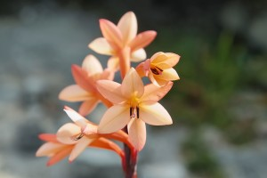Watsonia Tabularis - Unique member of the Fynbos (Cape Floral Kingdom) growing atop Table Mountain