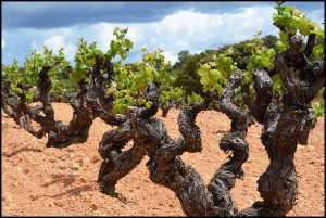 Bodegas Mustiguillo–Bobal Bush Vines