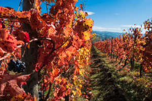57044157 - italian vineyard in autumnal foliage and sagrantino grapes